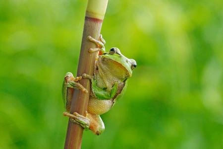 Europäischer Laubfrosch, Hyla arborea, sitzend auf Grasstroh mit klarem grünem Hintergrund. Schöne grüne Amphibie im Naturlebensraum. Wilder Frosch auf Wiese nahe dem Fluss, Lebensraum.