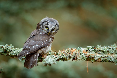 Owl hidden in the orange leaves. Bird with big yellow eyes. Autumn bird. Boreal owl in the orange leave autumn forest in central Europe. Detail portrait of bird in the nature habitat, Germany