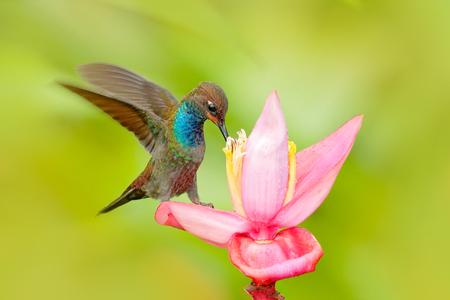 Uccello che succhia il nettare dalla fioritura rosa. Colibrì con fiore. Hillstar dalla coda bianca, Urochroa bougueri, colibrì in natura sul fiore di ping, gren e sfondo giallo, fauna selvatica, Colombia.