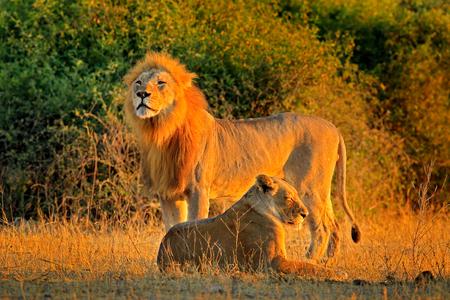 Macho y hembra, sol vespertino anaranjado, durante la puesta de sol, el Parque Nacional Chobe, Botswana, África. León Africano, Panthera leo bleyenberghi, escena de acción de apareamiento, comportamiento animal en el hábitat natural,