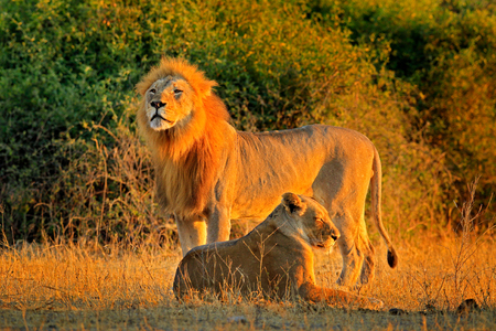 Male and female, evening orange sun, during sunset, Chobe National Park, Botswana, Africa. African Lion, Panthera leo bleyenberghi, mating action scene, animal behaviour in the nature habitat, Archivio Fotografico