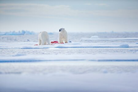 Two polar bears with killed seal. White bear feeding on drift ice with snow, Svalbard, Norway. Bloody nature with big animals. Dangerous animal with carcass of seal. Arctic wildlife, animal feeding behaviour.