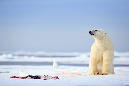 polar bears with killed seal. White bear feeding on drift ice with snow, Svalbard, Norway. Bloody nature with big animals. Dangerous animal with carcass of seal. Arctic wildlife, animal feeding behaviour.