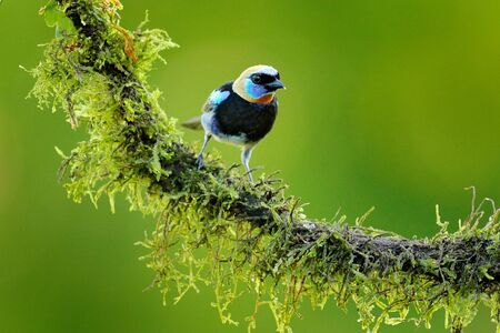 Golden-hooded Tanager, Tangara larvata, exotic tropical blue bird with gold head from Costa Rica. Tanager sitting on the branch. Green mossy stick in the forest with bird. Wildlife scene from nature.