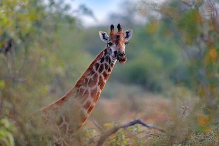 Giraffe hidden in orange and green autumn vegetation. Giraffes head in the forest, Kruger National Park, wildlife. Green season in Africa.  Africa. Stock fotó