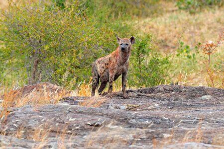 Spotted hyena, Crocuta crocuta, on grey stone mountain. Animal behaviour from nature, wildlife in Kruger National Park, Africa. Hyena in savannah habitat.