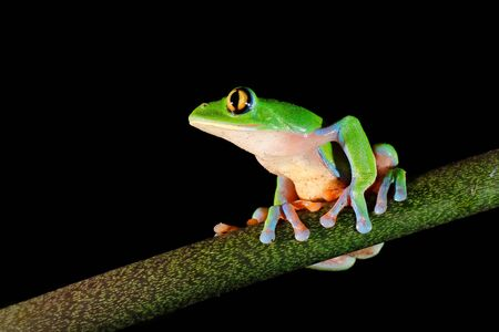 Agalychnis annae, Golden-eyed Tree Frog, green and blue frog on leave, Costa Rica. Wildlife scene from tropical jungle. Forest amphibian in nature habitat. Dark background. Night photography. Stockfoto