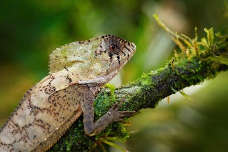 Helmeted basilisk iguana, Corytophanes cristatus, sitting on the tree branch. Lizard in the nature habitat, green forest vegetation. Beautiful reptile with long tail and crest. Wildlife nature.