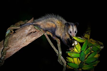Opossum, Didelphis marsupialis, from Costa Rica. Wildlife animal scene from nature. Rare animal on the tree. Common Opossum in green vegetation, animal in the habitat, with banana. Tropical lunge,
