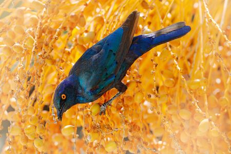 Cape Glossy Starling, Lamprotornis nitens, in nature habitat, orange plam tree with fruits. Detail close-up portrait with yellow eye. Beautiful shiny bird in the green forest, Etosha, Namibia, Africa.