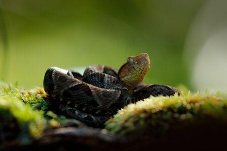 Fer-de-lance, Bothrops atrox, in nature habitat. Common Lancehead viper, in tropical forest. Poison snake in the dark jungle. Detail of rare snake from Brazil Standard-Bild