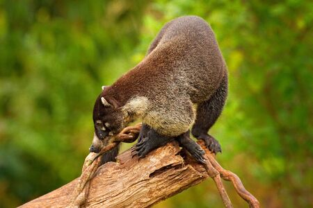 White-nosed Coati, Nasua narica, on the tree in National Park Manuel Antonio, Costa Rica. Animal in the forest with long tail. Mammal in the nature habitat. Animal from tropical Costa Rica. Stock Photo