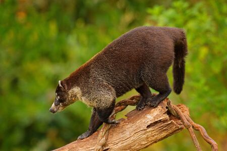 White-nosed Coati, Nasua narica, on the tree in National Park Manuel Antonio, Costa Rica. Animal in the forest with long tail. Mammal in the nature habitat. Animal from tropical Costa Rica.