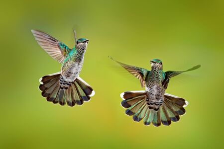 Bird fight. Flying female hummingbird White-necked Jacobin, Florisuga mellivora, from Costa Rica, clear green background. Action wildlife scene from tropic nature.