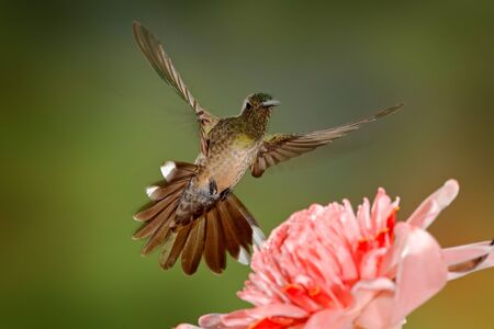 Scaly-breasted hummingbird, Phaeochroa cuvierii, with orange crest and collar in the green and violet flower habitat. Bird flying next to pink flower, clear green background, Boca Tapada, Costa Rica.