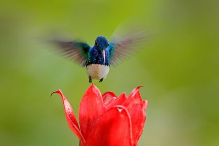 Face portrait of hummingbird. Flying blue and white hummingbird White-necked Jacobin, Florisuga mellivora, from Colombia, clear green background. Bird with open wing. Wildlife scene from tropic junle