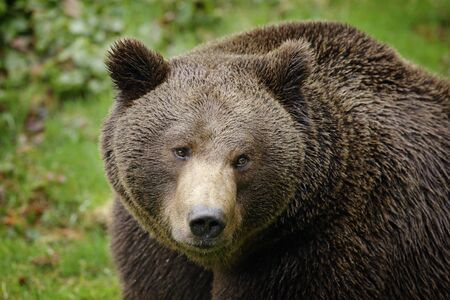 Brown bear, close-up detail portrait. Brown fur coat, danger animal. Fixed look, animal muzzle with eyes. Big mammal from Russia. Aggressive animal.