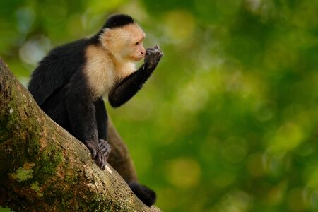 White-headed Capuchin, black monkey sitting on tree branch in the dark tropical forest. Wildlife of Costa Rica. Travel holiday in Central America. Open muzzle with tooth. Foto de archivo