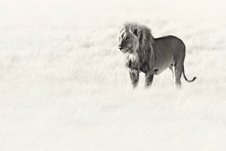 Black and white art. Angry female lion in Etosha NP, Namibia. African lion walking in the grass, with beautiful evening light. Wildlife scene from nature. Animal in the habitat. Safari in Africa. Banco de Imagens