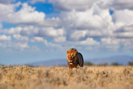 Lion walk. Portrait of African lion, Panthera leo, detail of big animals, Etocha NP, Namibia, Africa. Cats in dry nature habitat, hot sunny day in desert. Wildlife scene from nature. African blue sky. Reklamní fotografie