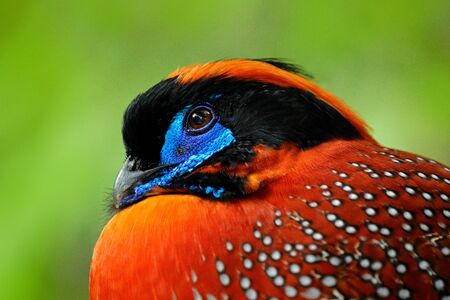 Exotic bird from Asia. Temminck's Tragopan, Tragopan temminckii, detail portrait of rare pheasant with black, blue and orange head, bird in the nature habitat, hidden in the green leaves, India.