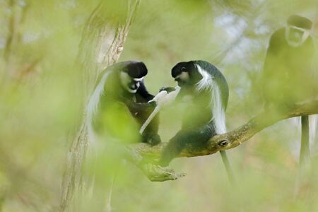 Mantled guereza, Colobus guereza, Male and female with one week old white young in hands. Monkey family on tree, green forest habitat in nature. Animal behaviour with little baby, Tanzania, Africa.