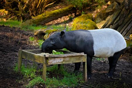 Tapir in nature. Malayan Asian tapir tapirus indicus, in green vegetation. Tapir feeding, Malaysia. Wildlife scene from tropical nature. Detail portrait of beautiful mammal. Cute big animal from Asia.