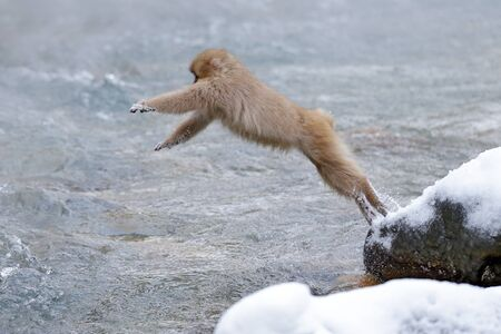 Monkey Japanese macaque, Macaca fuscata, jumping across the river, Hokkaido, Japan. Snowy winter in Asia. Funny nature scene with monkey. 免版税图像