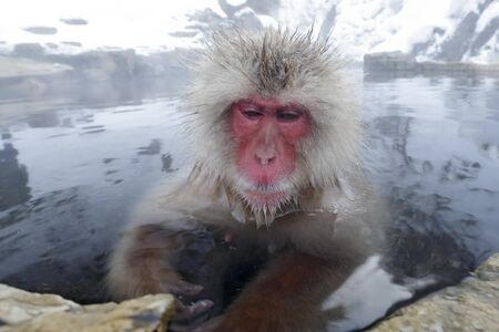 Monkey Japanese macaque, Macaca fuscata, red face portrait in the cold water with fog, animal in the nature habitat, Hokkaido, Japan. Wide angle lens photo with nature habitat. 免版税图像