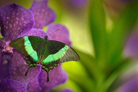Green swallowtail butterfly, Papilio palinurus, on the pink violet orchid bloom. Insect in the nature habitat, sitting on wild flower, Indonesia, Asia. Wildlife scene from green forest.