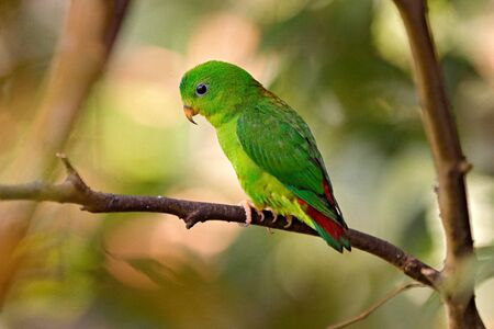 Blue-crowned hanging parrot, Loriculus galgulus, bird Barma, Thailand, Indonesia. Green parrot sitting on the tree branch in the habitat. Wildlife scene from nature. Bird from Asia forest.