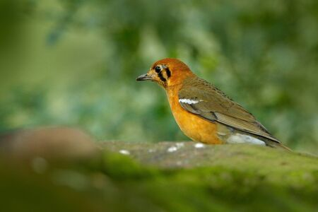Orange-headed thrush, Geokichla citrina, bird in the thrush family songbird sitting on the rock with green background, China and India. Rare bird in nature habitat. Bird in the green forest. Banco de Imagens