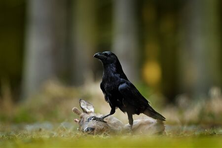 Raven with dead European Roe Deer, carcass in the forest. Black bird with head on the the forest road. Animal behavir, feeding scene in Germany, Europe. 스톡 콘텐츠