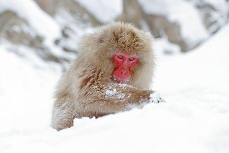 Monkey Japanese macaque, Macaca fuscata, sitting on the snow, Hokkaido, Japan.