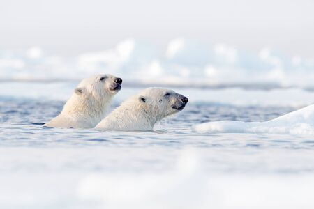Polar bear fight in the water. Two Polar bears playing on drifting ice with snow. White animals in the nature habitat, Svalbard, Norway. Animals playing in snow, Arctic wildlife. Funny nature image .