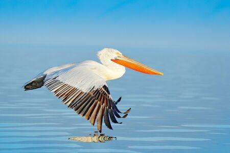 Bird landing to the blue lake water. Bird fly. Dalmatian pelican, Pelecanus crispus, landing in Lake Kerkini, Greece. Pelican with open wings. Wildlife scene from European nature. Standard-Bild