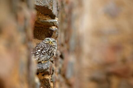 Little Owl, Athene noctua, bird in the nature old urban habitat, stone castle wall in Bulgaria. Wildlife scene from nature. Owl hidden in house with big stone wall.