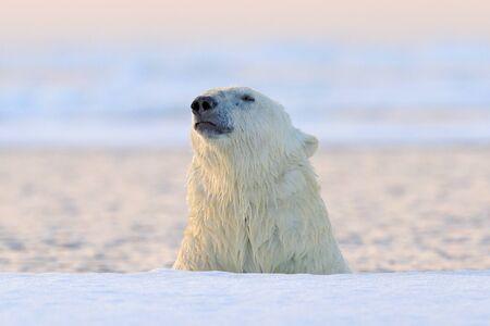 Polar bear on drift ice, Manitoba, Canada. Portrait of white bear in the water, sunset.