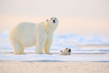 Polar bear swimming in water. Two bears playing on drifting ice with snow. White animals in the nature habitat, Alaska, Canada. Animals playing in snow, Arctic wildlife. Funny nature image.