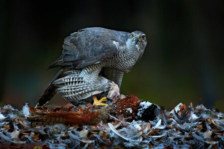 Bird bahaviour, wildlife scene from nature. Goshawk with killed Common Pheasant on the moss in green forest, bird of prey in the nature habitat, Germany.  Hawk predator with catch.