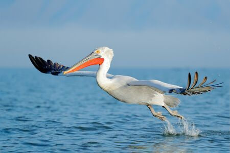 Dalmatian pelican, Pelecanus crispus, landing in Lake Kerkini, Greece. Pelican with open wings. Wildlife scene from European nature. Bird landing to the blue lake water. Bird fly.