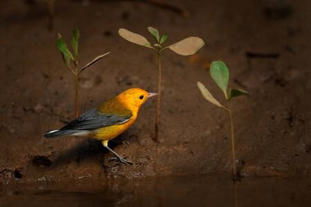 Prothonotary warbler, Protonotaria citrea, small yellow golden grey songbird in the habitat. Warbler near the river with young mangrove plant, Rio Tarcles, Carara NP, Costa Rica. Wildlife in tropic.