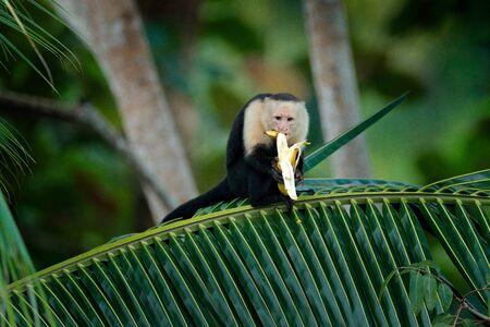 Monkey with banana. Black monkey hidden in the tree branch in the dark tropical forest. White-headed Capuchin, feeding fruits. Animal in nature habitat, wildlife of Costa Rica. Monkey feeding behaviour. Stok Fotoğraf