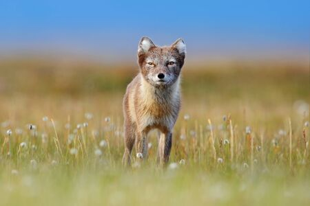 Arctic Fox, Vulpes lagopus, cute animal portrait in the nature habitat, grassy meadow with flowers, Svalbard, Norway. Beautiful wild animal in the grass. Stockfoto
