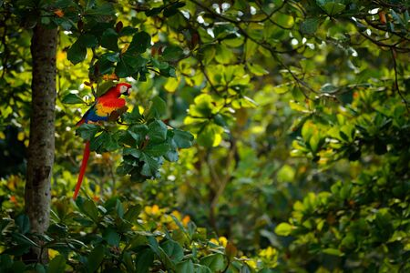 Red parrot Scarlet Macaw, Ara macao, bird sitting on the branch, Costa rica. Wildlife scene from tropical forest. Beautiful parrot on tree green tree in nature habitat. Sunny day between the trees.