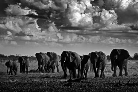 Black and white art photo. African safari. Herds elephant in the sand desert. Wildlife scene from nature, elephant in habitat, Etocha NP, Namibia, Africa. Green wet season, storm dark sky.