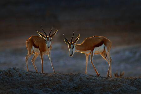 Springbok antelope, Antidorcas marsupialis, in the African dry habitat, Etocha NP, Namibia. Mammal from Africa. Springbok in evening back light. Sunset on safari in Namibia.