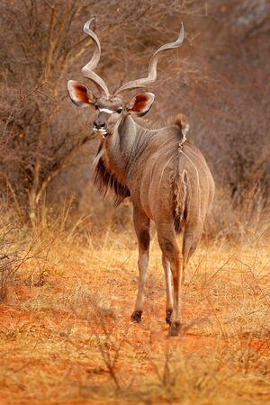 Greater kudu, Tragelaphus strepsiceros, handsome antelope with spiral horns. Animal in the green meadow habitat, Okavango delta, Moremi, Botswana. Kudu in Africa. Wildlife scene from African nature.