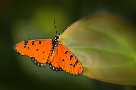 Tawny coster, Acraea terpsicore (syn. A. violae) in nature habitat. Nice insect from India in the green forest. Orange butterfly sitting on the green leave from Asia. Stock Photo