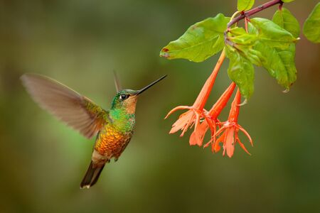 Hummingbird Golden-bellied Starfrontlet, Coeligena bonapartei, with long golden tail, beautiful action flight scene with open wings, clear green backgroud, Chicaque Natural Park, Colombia. Wild bird.